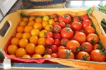 de tomaten, wat eerst een grandiose mislukking leek is toch nog meegevallen