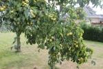 ook al te weinig uitgedund, het arme boompje bezwijkt bijna onder het gewicht : nashipeer