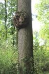 Soms hadden bomen ook puisten (zie je wel Piepedol dat je niet de enige bent !)